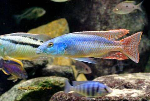1Aristochromis_christyi