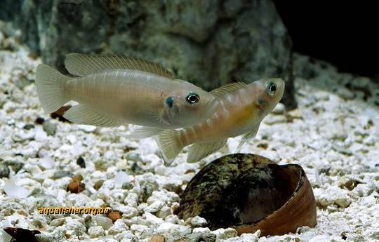 1Neolamprologus_brevis9