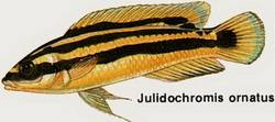 2Julidochromis_ornatus3