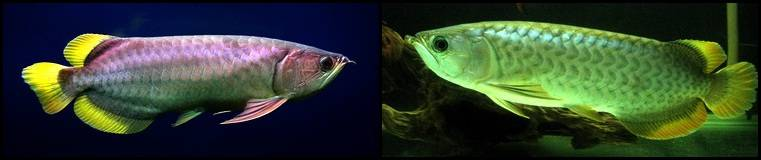 7Scleropages_formosus_Banjar_Yellow_Tail1