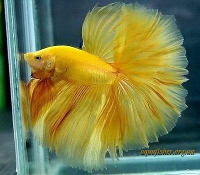 Betta_splendens_ cellophane_Halfmoon