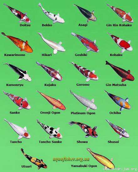 Pin koi varieties on pinterest for Koi carp varieties
