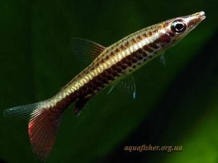 Nannostomus_eques